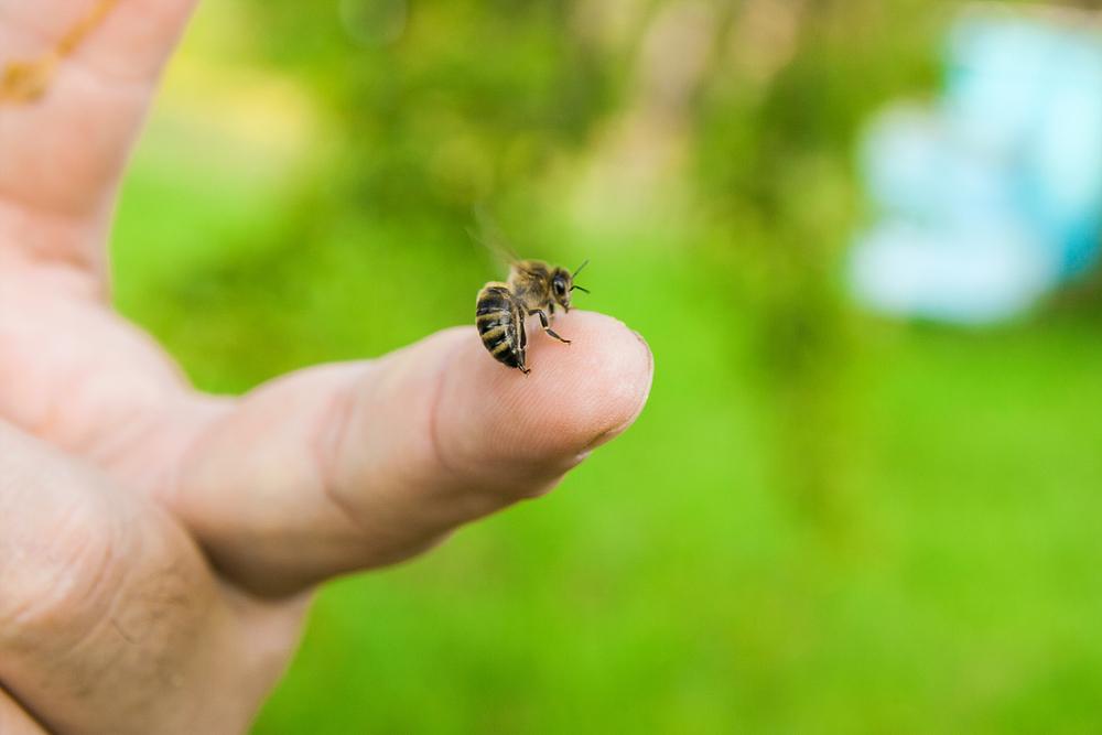 Punture di api, per le persone allergiche esiste un vaccino