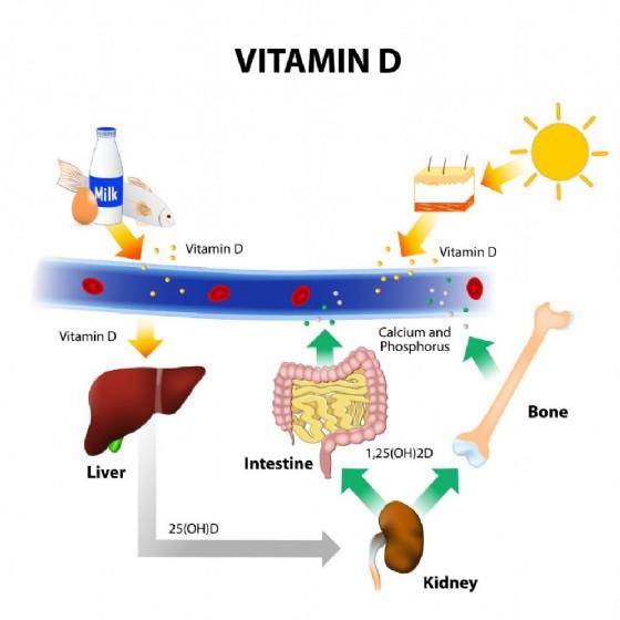 Il ciclo della vitamina D
