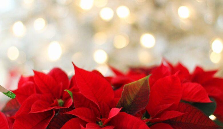 Stella di Natale avvelenamento